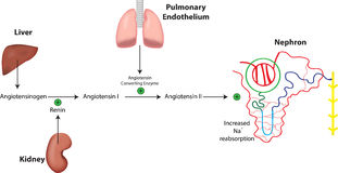 Renin Angiotensin System and Nephron. The renin angiotensin aldosterone physiological system Stock Photos