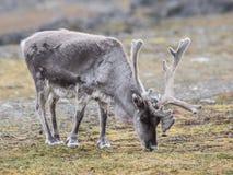 Renna artica, Spitsbergen Fotografie Stock
