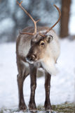 Renna che mangia la foresta di inverno Immagine Stock Libera da Diritti