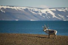 Renna che sta sulla riva con le montagne dietro Fotografie Stock Libere da Diritti