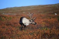 Renna curiosa nel parco nazionale di Pallas-Yllastunturi Fotografia Stock Libera da Diritti