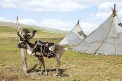 Renna e tepee sellati in Mongolia del Nord fotografia stock