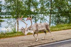 Renna in Lapponia Finlandia fotografie stock
