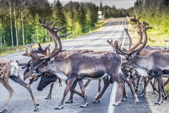 Renna in Lapponia Finlandia fotografie stock libere da diritti