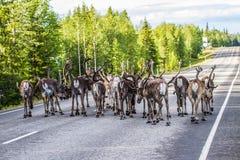Renna in Lapponia Finlandia Fotografia Stock
