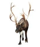 Renna maschio con i grandi corni sopra bianco Immagine Stock