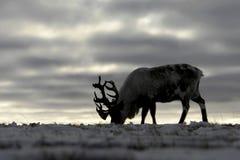 Renna nella tundra di chukchi Immagini Stock Libere da Diritti