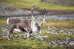 Renna selvaggia in habitat naturale (artico) Fotografia Stock