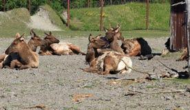 renne Image libre de droits