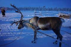 renne Photos libres de droits