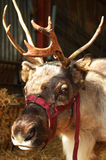 Renne chez Mead Open Farm Photographie stock