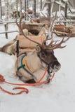 Renne de Noël Photographie stock libre de droits