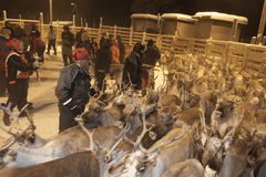 Renne de Sami recueillant en Laponie, Finlande Images stock