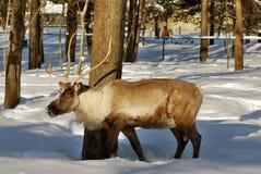 Renne deer Stock Images