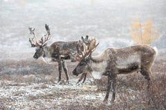 Renne deux dans une tempête de neige Photo stock