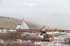 Renne devant un yurt dans une tempête de neige Image libre de droits