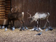 Renne et pigeons Image stock