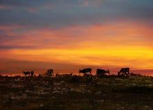 Renne in sole di mezzanotte della Lapponia Fotografia Stock Libera da Diritti