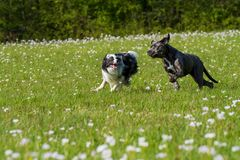 Running dogs in a flower meadow. A border collie and a cane corso running flayful in a meadow royalty free stock photo