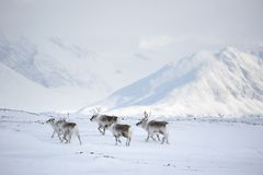 Rennes arctiques Photos libres de droits