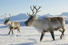 Rennes dans l'environnement naturel, région de Tromso, Norvège du nord Photos stock