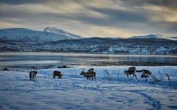 Rennes dans la neige, Norvège Photos libres de droits
