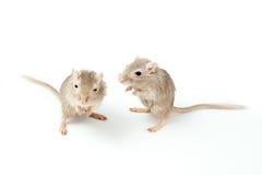 Rennmaus mit zwei Graun Mäuse stockbilder