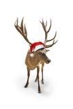 Reno con el sombrero de Papá Noel, aislado en whiteckground Fotos de archivo libres de regalías