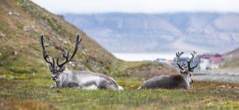 Reno dos que descansa en la noche delante de Longyearbyen, Svalbard, ártico Imágenes de archivo libres de regalías