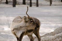Reno en el bosque Fotografía de archivo libre de regalías