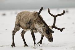 Reno que golpea nieve con el pie Fotografía de archivo libre de regalías