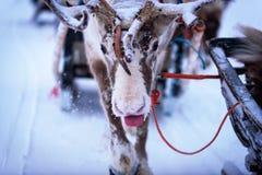 Reno que pega hacia fuera la lengua en un campo hivernal nevoso Foto de archivo
