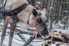 Reno y trineo de Karelia imagen de archivo libre de regalías
