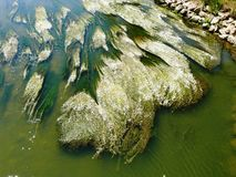 Renoncule des rivières en fleur sur la Meuse dans VOSGES photographie stock libre de droits