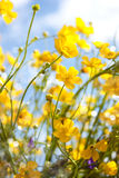 renoncule. fleur jaune Images stock