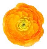 Renoncule orange-clair images stock