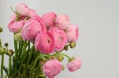 Renoncule persane Groupe pâle - le ranunculus rose fleurit le fond clair images stock