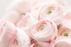 Renoncule persane Groupe pâle - le ranunculus rose fleurit le fond clair papier peint, photo horizontale photos libres de droits