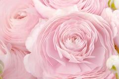 Renoncule persane Groupe p?le - le ranunculus rose fleurit le fond clair wallpaper image libre de droits