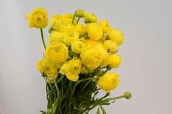Renoncule persane Le ranunculus jaune pâle de groupe fleurit le fond clair image libre de droits