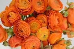 Renoncule persane Le ranunculus orange pâle de groupe fleurit le fond clair image libre de droits