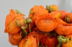 Renoncule persane Le ranunculus orange pâle de groupe fleurit le fond clair photos libres de droits