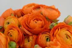 Renoncule persane Le ranunculus orange pâle de groupe fleurit le fond clair photographie stock libre de droits