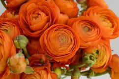 Renoncule persane Le ranunculus orange pâle de groupe fleurit le fond clair images libres de droits