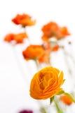 Renoncule persane orange Photographie stock libre de droits