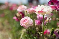 Renoncule rose Images libres de droits