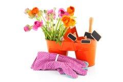 Renoncules colorées pour le jardinage Photographie stock libre de droits