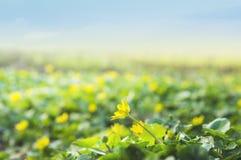 Renoncules jaunes sauvages contre le ciel Images libres de droits