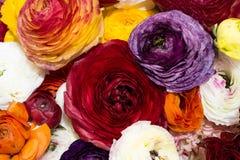 Renoncules persanes, mélange de couleurs photo libre de droits