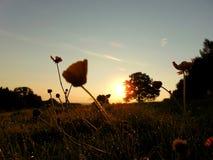 Renoncules un beau matin d'été à l'aube photo stock